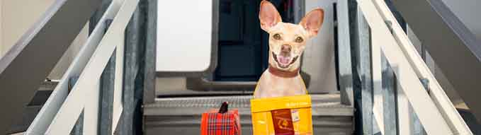 chihuahua   dog  with luggage bag ready to travel as pet in cabin in plane or airplane as a passanger, for summer vacation holidays